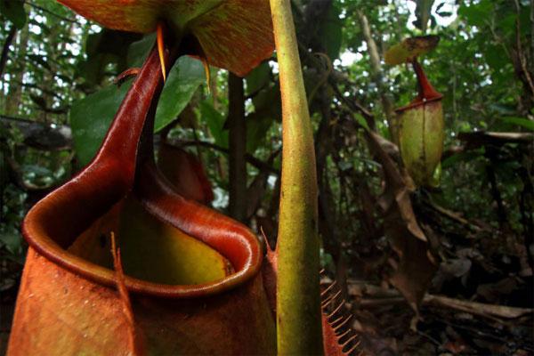 Sát thủ thực vật nắp ấm ở đảo Borneo