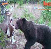 Video: Gấu biết tránh bẫy để lấy mồi