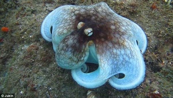 Thuật ẩn thân kỳ diệu của loài bạch tuộc dưới biển Caribbean