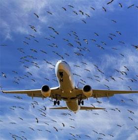 Vì sao chim thường hay đâm vào máy bay?