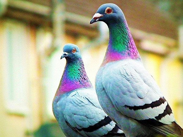Bồ câu - Loài chim thông minh của thế giới động vật