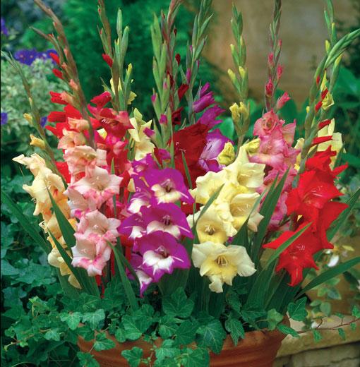 Cách giữ hoa lay ơn tươi lâu trong những ngày Tết