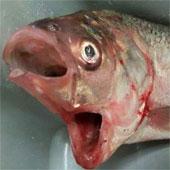 Bắt được cá hai miệng lạ ở Australia