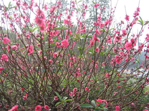 Các bạn có thể bón lót khoảng từ 3-5kg phân hữu cơ/cây tùy vào độ lớn nhỏ của chậu hoa đào.