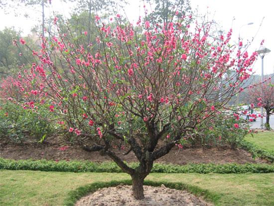 Trước khi trồng đào các bạn cũng có thể dùng các chế phẩm để cho cây đào phát triển rễ như siêu ra rễ.