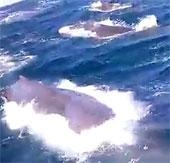 Video: Cá nhà táng lao vào tàu cá