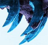 Răng sên biển có thể là vật liệu sinh học cứng nhất thế giới
