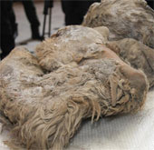 Phát hiện xác tê giác tuyệt chủng từ 10.000 năm