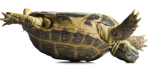 Hiện tượng rùa bị ngửa bụng tự lật úp