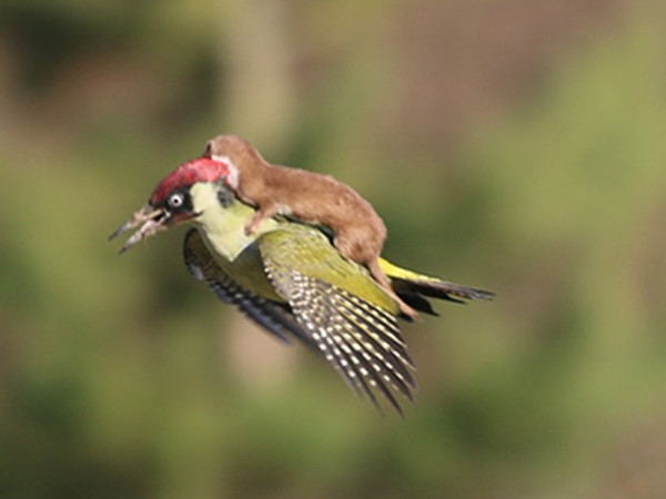 """Chồn cưỡi chim bay lượn - ảnh động vật """"hot"""" nhất tuần qua"""
