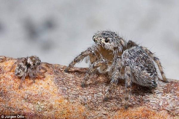 """Phát hiện hai loài nhện mới biết """"nhảy hay, mặc đẹp"""""""