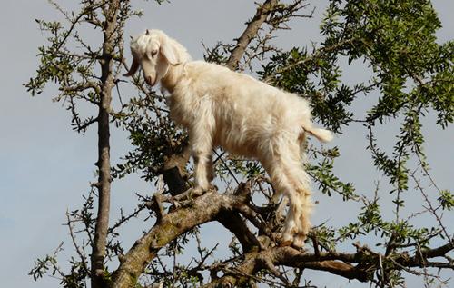 Dê leo cây ở Morocco