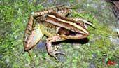 Phát hiện hai loài ếch mới ở khu bảo tồn thiên nhiên Mường Nhé, Sốp Cộp