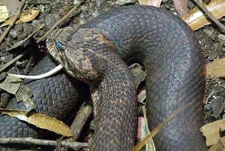 Sự thật về 11 loài rắn cực độc trên thế giới