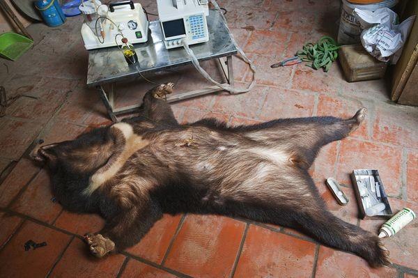 7 loài động vật hoang dã đang bị con người tận diệt