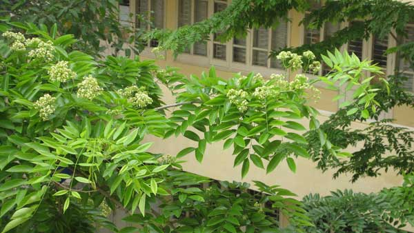 Kỹ thuật trồng cây sưa quý hiếm