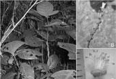 Phát hiện loài cây mới tại Phong Nha - Kẻ Bàng