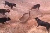 Hổ mang chúa tử nạn trong vòng vây của chó nhà