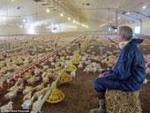 Vòng đời 35 ngày của một chú gà KFC