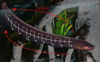Giải mật cơ chế phóng điện giết con mồi của thủy quái Amazon