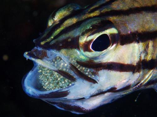Những trường hợp cá đực ấp trứng trong miệng cực hiếm