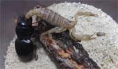 Cuộc chiến sinh tử giữa chiến binh bọ cánh cứng và bọ cạp quỷ