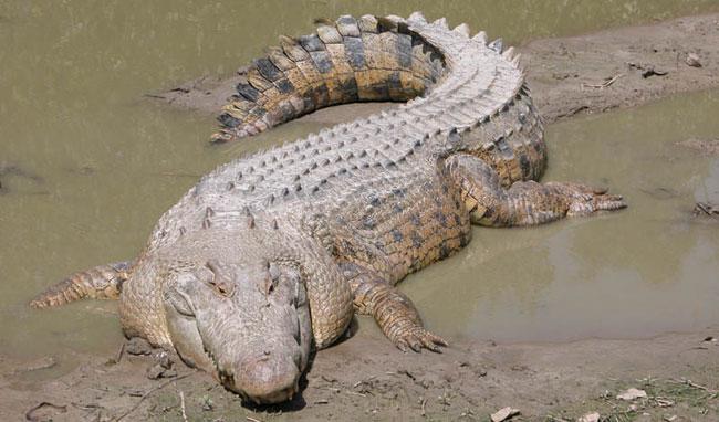15 loài vật khổng lồ nhất thế giới