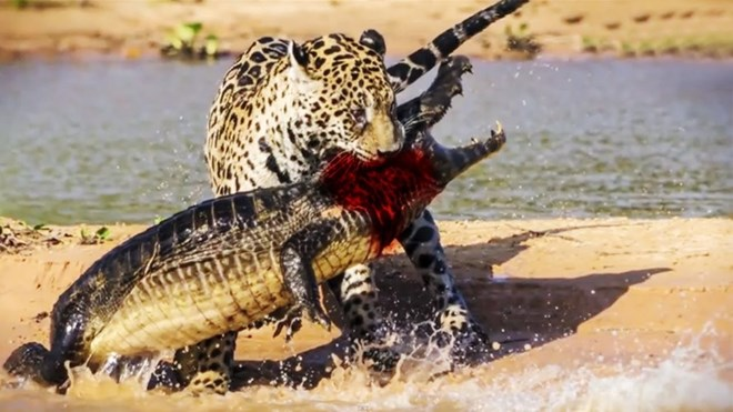 Cá sấu tử nạn trước hàm răng sắc nhọn của hổ, báo
