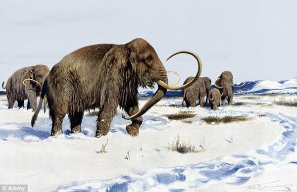 Bước tiến mới trong việc hồi sinh loài voi ma mút lông dài Woolly