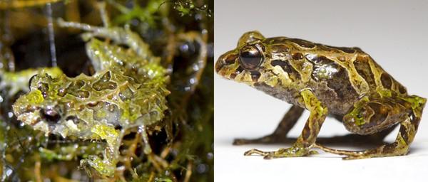 """Phát hiện loài ếch có khả năng """"biến hình"""" lớp da trong nháy mắt"""
