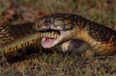 Rắn đuôi chuông bị nuốt chửng bởi rắn hổ mang khổng lồ