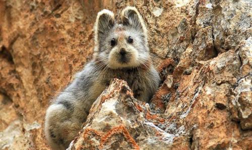 Loài thỏ mặt gấu tái xuất sau 20 năm