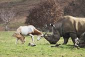 Linh dương mẹ đối đầu tê giác để cứu con