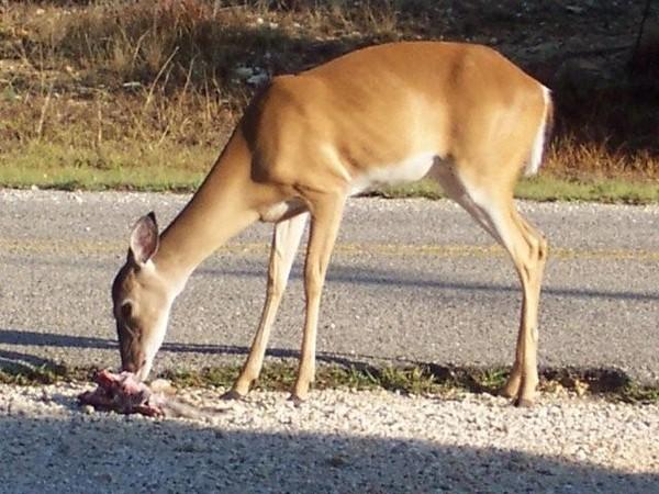 """Những động vật tưởng ăn chay nhưng lại thích """"xôi thịt"""""""