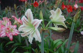 Dùng phương pháp lai hữu tính để tạo giống hoa lan huệ mới