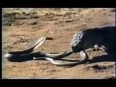 Rắn Hổ mang đánh nhau với Rồng Komodo