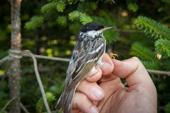 Loài chim nhỏ bé bay không nghỉ qua Đại Tây Dương
