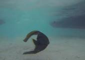 Kinh ngạc cá mất thân vẫn bơi tốt