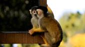 10 điểm loài khỉ giống hệt với con người