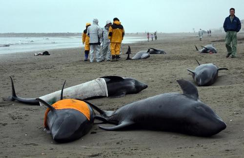 Hơn 130 cá voi mắc cạn ở Nhật Bản