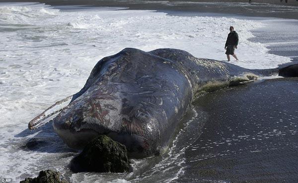 Phát hiện cá nhà táng khổng lồ trôi dạt vào bờ biển Mỹ
