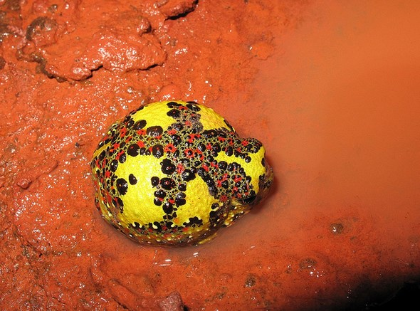 Loài ếch lạ tự biến thành nam châm... hút mồi
