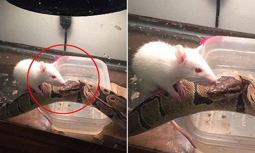 Tình bạn kỳ lạ giữa trăn khổng lồ và chuột tí hon