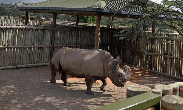 Chú tê giác trắng đực duy nhất còn lại trên thế giới