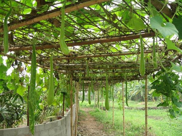 Kỹ thuật trồng và chăm sóc cho cây bầu nhiều quả