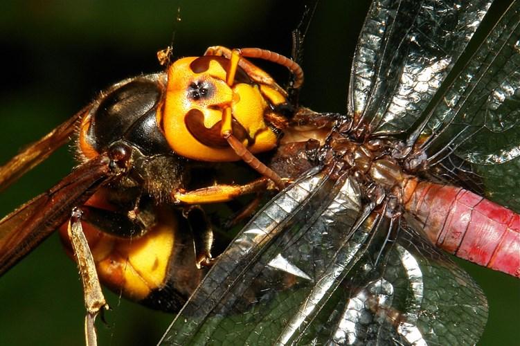 Chân dung ong khổng lồ giết người hàng loạt ở châu Á