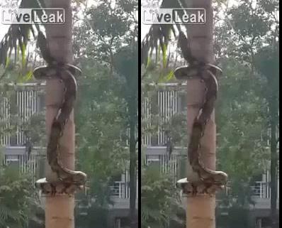 Kinh hãi xem trăn khổng lồ leo cây ở Thái Lan