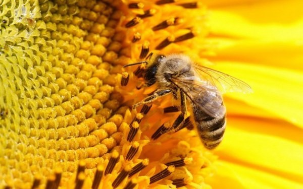 """Ong mật """"nghiện"""" thuốc trừ sâu?"""