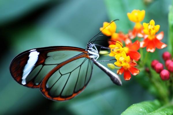 Khám phá loài bướm có đôi cánh như pha lê