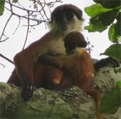 Tìm thấy loài khỉ tưởng đã tuyệt chủng